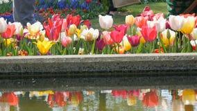 Το γραφικό μίγμα της πολύχρωμης άνθισης λουλουδιών τουλιπών καλλιεργεί την άνοιξη αντανάκλαση στο νερό Διακοσμητικό λουλούδι τουλ φιλμ μικρού μήκους