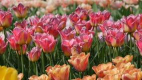 Το γραφικό μίγμα της πολύχρωμης άνθισης λουλουδιών τουλιπών καλλιεργεί την άνοιξη Διακοσμητικό άνθος λουλουδιών τουλιπών την άνοι απόθεμα βίντεο