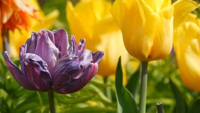Το γραφικό μίγμα της σκοτεινής πορφυρής και κίτρινης άνθισης λουλουδιών τουλιπών καλλιεργεί την άνοιξη Διακοσμητικό άνθος λουλουδ απόθεμα βίντεο
