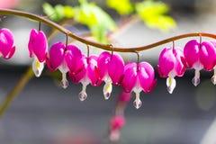 Το γραφικό ρόδινο λουλούδι Dicentra μια σπασμένη καρδιά, καρδιά Jeannette, αιμορραγώντας καρδιά ανθίζει στον κήπο Στοκ Εικόνες