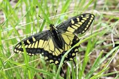 Το γλυκάνισο καταπίνει την πεταλούδα ουρών Στοκ Φωτογραφία