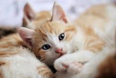 Το γλυκό γατάκι εξετάζει τη κάμερα Στοκ εικόνες με δικαίωμα ελεύθερης χρήσης