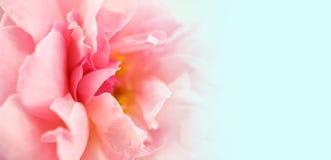 Το γλυκό πέταλο χρώματος αυξήθηκε για το ρομαντικό υπόβαθρο Στοκ Φωτογραφία