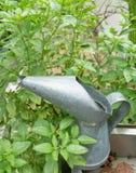 Το γλυκό φύλλο βασιλικού με ένα πότισμα μπορεί Στοκ φωτογραφία με δικαίωμα ελεύθερης χρήσης