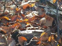 Το δάσος φθινοπώρου ο ήλιος φωτίζει το παλαιό πεσμένο φύλλωμα Στοκ Εικόνες