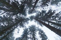 Το δάσος χειμερινών πεύκων η κάμερα κατευθύνεται προς τα πάνω προς τις κορώνες των δέντρων Στοκ Φωτογραφία