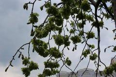 Το δέντρο άνθισε την άνοιξη πράσινα στοκ εικόνες
