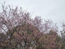 Το δέντρο ανθών κερασιών είναι ανθίζοντας με την ελαφριά ομίχλη στοκ φωτογραφία με δικαίωμα ελεύθερης χρήσης