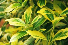 Το δέντρο αξόνων Euonymus βγάζει φύλλα τον κλάδο στοκ φωτογραφίες