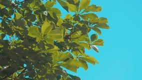 Το δέντρο διακλαδίζεται κάστανο με την πράσινη λεύκα υποβάθρου μπλε ουρανού φύλλων που λικνίζει στο σε αργή κίνηση βίντεο αέρα Φύ φιλμ μικρού μήκους