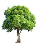 Το δέντρο είναι εντελώς χωρισμένο από το άσπρο επιστημονικό όνομα υποβάθρου BA στοκ φωτογραφίες