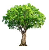 Το δέντρο είναι εντελώς χωρισμένο από το άσπρο επιστημονικό όνομα υποβάθρου BA στοκ φωτογραφία με δικαίωμα ελεύθερης χρήσης