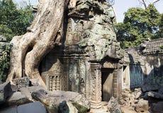 Το δέντρο ζουγκλών που καλύπτει τις πέτρες του ναού του TA Prohm σε Angkor Wat Siem συγκεντρώνει, Καμπότζη Στοκ Φωτογραφία