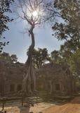 Το δέντρο ζουγκλών που καλύπτει τις πέτρες των καταστροφών ΧΙΙ ναών αιώνας θορίου σε Angkor Wat Siem συγκεντρώνει, Καμπότζη Στοκ εικόνες με δικαίωμα ελεύθερης χρήσης