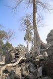 Το δέντρο ζουγκλών που καλύπτει τις πέτρες των καταστροφών ΧΙΙ ναών αιώνας θορίου σε Angkor Wat Siem συγκεντρώνει, Καμπότζη Στοκ Φωτογραφία