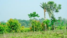το δέντρο ημερομηνίας plam και το δέντρο lamdu είναι εδώ σε μια περιοχή φύτευσης στην Ινδία στοκ εικόνες