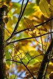 Το δέντρο κάστανων διακλαδίζεται στα πράσινα φύλλα κάστανων εποχής πτώσης, δημιουργικό σχέδιο υποβάθρου Στοκ Φωτογραφίες