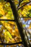 Το δέντρο κάστανων διακλαδίζεται στα πράσινα φύλλα κάστανων εποχής πτώσης, δημιουργικό σχέδιο υποβάθρου Στοκ φωτογραφίες με δικαίωμα ελεύθερης χρήσης