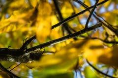 Το δέντρο κάστανων διακλαδίζεται στα πράσινα φύλλα κάστανων εποχής πτώσης, δημιουργικό σχέδιο υποβάθρου Στοκ εικόνες με δικαίωμα ελεύθερης χρήσης