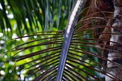 Το δέντρο καρύδων πέθανε καφετί φύλλο Στοκ εικόνα με δικαίωμα ελεύθερης χρήσης
