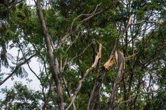 Το δέντρο καταστράφηκε από την ένταση θύελλας ` s Στοκ φωτογραφίες με δικαίωμα ελεύθερης χρήσης