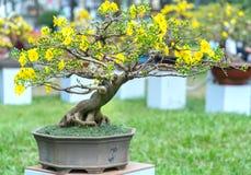 Το δέντρο μπονσάι βερίκοκων που ανθίζει με τους κίτρινους ανθίζοντας κλάδους που κάμπτουν δημιουργεί τη μοναδική ομορφιά Στοκ φωτογραφία με δικαίωμα ελεύθερης χρήσης