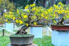 Το δέντρο μπονσάι βερίκοκων που ανθίζει με τους κίτρινους ανθίζοντας κλάδους που κάμπτουν δημιουργεί τη μοναδική ομορφιά Στοκ Εικόνα
