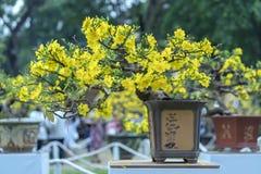 Το δέντρο μπονσάι βερίκοκων που ανθίζει με τους κίτρινους ανθίζοντας κλάδους που κάμπτουν δημιουργεί τη μοναδική ομορφιά Στοκ φωτογραφίες με δικαίωμα ελεύθερης χρήσης