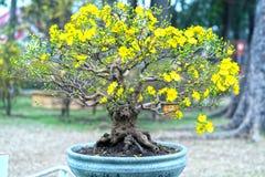 Το δέντρο μπονσάι βερίκοκων που ανθίζει με τους κίτρινους ανθίζοντας κλάδους που κάμπτουν δημιουργεί τη μοναδική ομορφιά Στοκ εικόνες με δικαίωμα ελεύθερης χρήσης