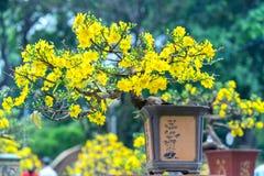 Το δέντρο μπονσάι βερίκοκων που ανθίζει με τους κίτρινους ανθίζοντας κλάδους που κάμπτουν δημιουργεί τη μοναδική ομορφιά Στοκ εικόνα με δικαίωμα ελεύθερης χρήσης