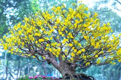 Το δέντρο μπονσάι βερίκοκων που ανθίζει με τους κίτρινους ανθίζοντας κλάδους που κάμπτουν δημιουργεί τη μοναδική ομορφιά Στοκ Εικόνες