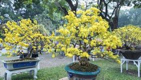 Το δέντρο μπονσάι βερίκοκων που ανθίζει με τους κίτρινους ανθίζοντας κλάδους που κάμπτουν δημιουργεί τη μοναδική ομορφιά Στοκ Φωτογραφίες