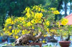 Το δέντρο μπονσάι βερίκοκων που ανθίζει με τους κίτρινους ανθίζοντας κλάδους που κάμπτουν δημιουργεί τη μοναδική ομορφιά Στοκ Φωτογραφία