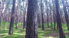 Το δέντρο πεύκων από το κατώτατο σημείο επάνω απόθεμα βίντεο