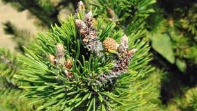 Το δέντρο πεύκων βουνών του βόρειου Τέξας στοκ εικόνες με δικαίωμα ελεύθερης χρήσης