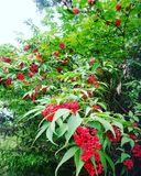 Το δέντρο ρίχνει τα κόκκινα μαργαριτάρια στα πράσινα όπλα! στοκ εικόνα με δικαίωμα ελεύθερης χρήσης