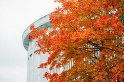 Το δέντρο σφενδάμνου γυρίζει τα φύλλα του στο κόκκινο στην πόλη της Πετρούπολης φθινοπώρου, Ρωσία Στοκ Εικόνα