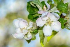 Το δέντρο της Apple άνθισε άσπρα λουλούδια Στοκ Φωτογραφίες