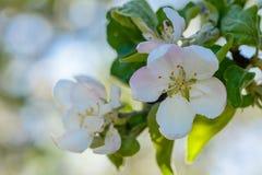 Το δέντρο της Apple άνθισε άσπρα λουλούδια Στοκ φωτογραφία με δικαίωμα ελεύθερης χρήσης