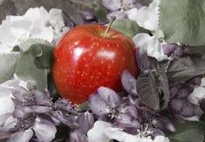 Το δέντρο της Apple ανθίζει άσπρος και πορφυρός με τα πράσινα φύλλα και το κόκκινο ώριμο μήλο, τονισμός Στοκ φωτογραφία με δικαίωμα ελεύθερης χρήσης