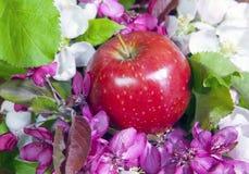 Το δέντρο της Apple ανθίζει άσπρος και πορφυρός με τα πράσινα φύλλα και το κόκκινο ώριμο μήλο Στοκ φωτογραφίες με δικαίωμα ελεύθερης χρήσης