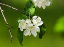 Το δέντρο της Apple ανθίζει την άνοιξη κινηματογράφηση σε πρώτο πλάνο στο πράσινο υπόβαθρο Στοκ φωτογραφία με δικαίωμα ελεύθερης χρήσης