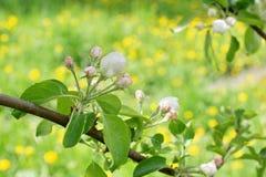 Το δέντρο της Apple διακλαδίζεται άσπρα λουλούδια στο πράσινο υπόβαθρο τομέων του Υ Στοκ εικόνες με δικαίωμα ελεύθερης χρήσης