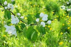 Το δέντρο της Apple διακλαδίζεται άσπρα λουλούδια στο πράσινο υπόβαθρο τομέων του Υ Στοκ Φωτογραφίες