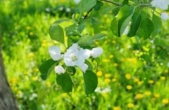 Το δέντρο της Apple διακλαδίζεται άσπρα λουλούδια στο πράσινο υπόβαθρο τομέων του Υ Στοκ Εικόνες