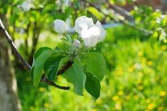 Το δέντρο της Apple διακλαδίζεται άσπρα λουλούδια στο πράσινο υπόβαθρο τομέων του Υ Στοκ φωτογραφίες με δικαίωμα ελεύθερης χρήσης