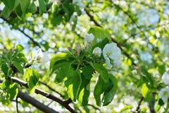 Το δέντρο της Apple διακλαδίζεται άσπρα λουλούδια στο πράσινο υπόβαθρο τομέων του Υ Στοκ φωτογραφία με δικαίωμα ελεύθερης χρήσης