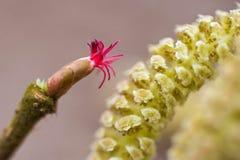 Το δέντρο φουντουκιών παρουσιάζει όμορφα γατάκια του λουλουδιών και αμύλου Στοκ Φωτογραφίες