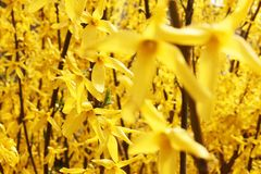 Το δέντρο Forsythia ανθίζει την άνοιξη το χρόνο Στοκ εικόνες με δικαίωμα ελεύθερης χρήσης
