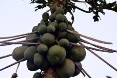 Το δέντρο Papaya με τα φρούτα Στοκ Φωτογραφία
